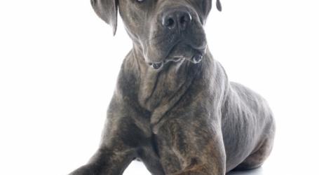 Le cane corso, un chien que j'ai appris à découvrir