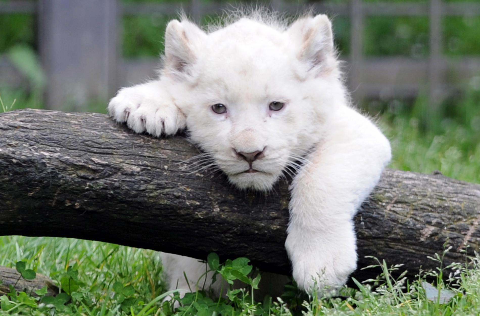 b b lion blanc pourquoi ces animaux sont ils tr s rares de nos jours. Black Bedroom Furniture Sets. Home Design Ideas