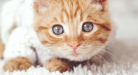 Comment oter l'odeur d'urine de chat ?